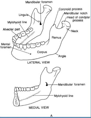 Mandible - Great size and strength! image