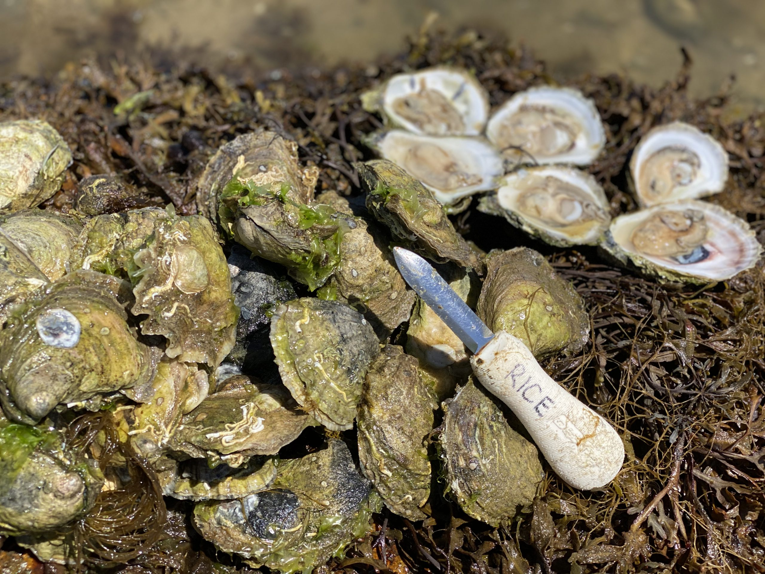 How To Shuck An Oyster: Step by Step